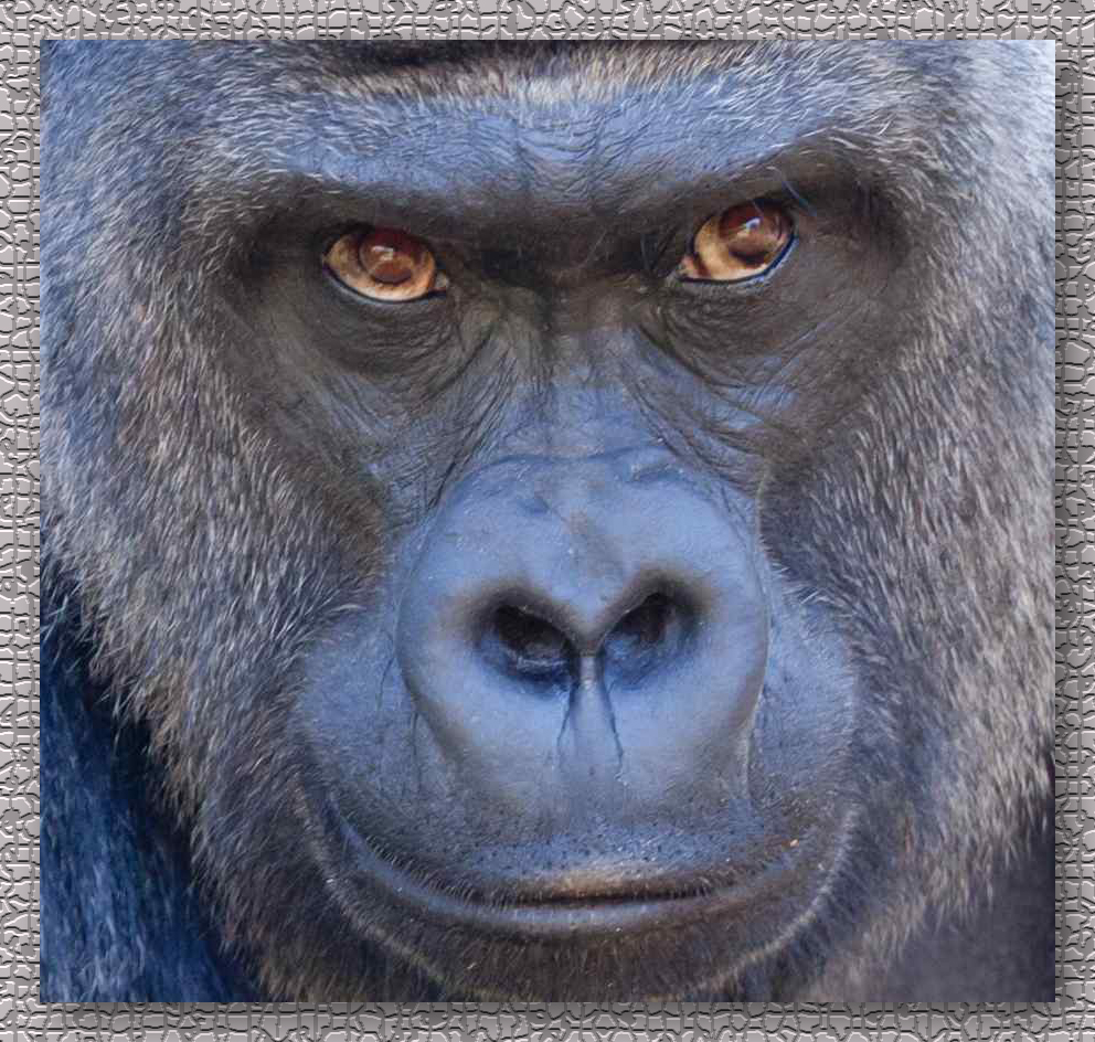 silverback_gorilla_for_post